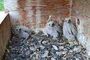 Ein Turmfalkennistkasten mit drei Jungtieren. (Bild: Claudia Müller/Vogelwarte.ch)