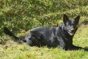 Polizeihund «Tyson» ist ein fünfjähriger Deutscher Schäferhund. (Bild: Staatsanwaltschaft Luzern)