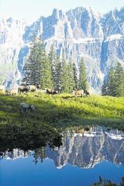 Rinder sömmern auf der Alp Fiseten im Kanton Uri. (Archivbild Urner Zeitung)