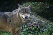 Der Wolf hat auf der Alp Surenen-Blackenalp drei bis vier Schafe gerissen (Symbolbild) (Archivbild Romano Cuonz)