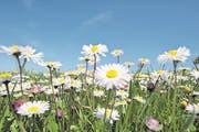 Inbegriff des Frühlings- und Glücksgefühls: Eine Wiese voller Gänseblümchen. Doch das Margritli schmeckt auch im Risotto gut. (Bild: Martin Rügner/Getty)