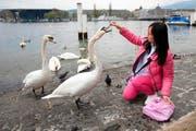 Festschmaus für Schwäne: Touristen füttern die Tiere mit Brot aus den umliegenden Bäckereien - und tragen dazu bei, dass die Tiere immer frecher werden. (Bild: Manuela Jans / Neue LZ)