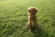 Hündin Aventia bei der Hundeausbildung. (Archivbild: Alexandra Wey)