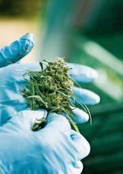 Firmen wie die Botanicals AG produzieren unter professionellen Bedingungen Cannabisprodukte. (Bild: Christian Beutler/KEY (Kradolf-Schönenberg, 18. Oktober 2017))