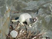 Leser Bruno Zimmermann hatte das Glück, das Tier in Buochs hautnah beobachten zu können. (Bild: Leser Bruno Zimmermann)