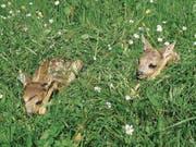 Rehkitze sind in Wiesen oft kaum zu sehen. (Bild: PD (1. Juni 2012))