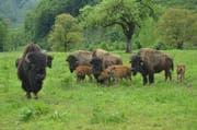 Bei den Bisons in Giswil hat es Nachwuchs gegeben: Die vier Kälber kamen im Frühling auf die Welt. (Bild Paul Küchler)