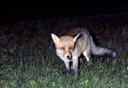 Sie kommen im Kanton Nidwalden immer häufiger vor: Die Wildzähler gehen davon aus, dass es dieses Jahr mehr Füchse gibt als in den vergangenen Jahren. (Bild Romano Cuonz)