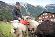 Theo Zurfluh verfüttert seinen Schafen auf seinem Heimbetrieb im Isenthal Brot. Bild: Urs Hanhart (Isenthal, 18. November 2016)