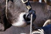 Nasenring eines Stiers. (Bild: Werner Schelbert)