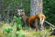 Wie es in Obwalden Wald und Wild aufeinander abzustimmen gilt, darüber herrscht Uneinigkeit. (Bild: PD)