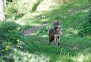 Ein Wolf im Tierpark Goldau. (Archivbild Remo Nägeli)