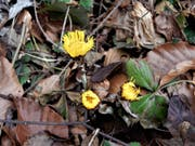 Gelb ist die Farbe der Hoffnung, dass der Frühling doch endlich kommt: Blühender Huflattich in Meggen. (Bild: Leserbild: Margrith Imhof-Röthlin (Meggen, 13. März 2018))
