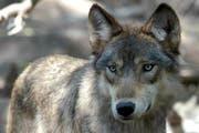 Dieser Wolf hat nichts mit den gerissenen Schafen im Kanton Uri zu tun. Seine Jagdgrüne sind in einem Schutzgebiet im US-Staat Columbia. (Bild: AP Photo/Dawn Villella)