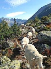 Schafe fallen immer mehr dem Wolf zum Opfer.