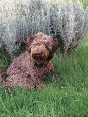 Der verschwudener Hund Kalissy. (Bild: PD)
