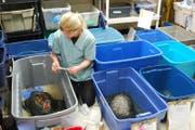 Sue Carstairs bei der Wundbehandlung an einer Schnappschildkröte.Bild: Gerd Braune (Bild: Gerd Braune)