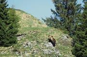 Ende Mai wurde ein Bär in der Berner Gemeinde Eriz gesichtet. Mutmasslich dieses Tier wurde später von einem Bauern aus Flühli beobachtet. (Bild: Keystone/Jagdinspektorat Kanton Bern)