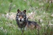 Vor zwei Jahren riss dieser Wolf im Wallis Schafe – jetzt geht wohl auch in der Zentralschweiz einer um. (Bild: Keystone)