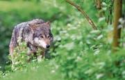 Ein Wolf hat Anfang Oktober in Einsiedeln Schafe gerissen. (Symbolbild: Florian Eckl/Keystone)