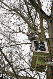 Nur für Schwindelfreie: Baumexperte Walter Wipfli (49) aus Seelisberg sägt alte und dürre Äste aus den Pappeln am Sarnersee. (Bild: Corinne Glanzmann (Sarnen, 4. April 2017))