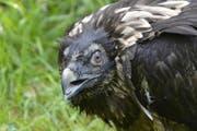 Bartgeier-Weibchen BG960 oder «Senza» ist abgestürzt. (Bild: Hansruedi Weyrich/PD)