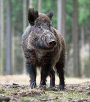 Wildschweine gelten als äusserst schlau. (Bild: Frank Sommariva/Getty)