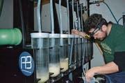 Solt Sokoray-Varga, Produktionsleiter der Basis 57, beim Umfüllen des Zander-Laichs in die Erbrütungsgläser. (Bild: PD)
