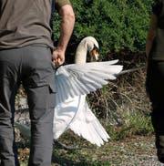 Vor dem Griff ins Nest muss der brütende Schwan zum Aufstehen gebracht werden. (Bild: Corinne Glanzmann)
