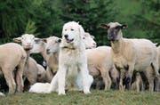 Herdenschutzhunde bewachen ihre Nutztiere, als wären es ihre Geschwister. Das birgt Konfliktpotenzial. (Bild: Archiv UZ)