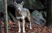 Ein Wolf kann erhebliche Kosten verursachen – wie das Urner Beispiel zeigt.Bild: AP Photo/Gerry Broome (Durham, USA, 13. Januar 2015)