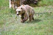 Nicht immer ist es so gefahrlos, wenn man einen Bären sieht, wie hier im Tierpark Goldau. (Bild Romano Cuonz)