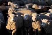Kleinviehzüchter setzen Fragezeichen hinter die Schutzmöglichkeiten für Schafe auf Alpen. (Archivbild Nadia Schärli)