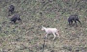 Am Freitag konnte die weisse Gams im Gebiet Grund bei Schwyz beobachtet werden. (Bild: Andreas Seeholzer)
