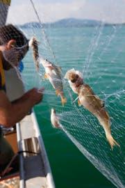 Vor knapp zwei Jahren wurden die Fischbestände im Zugersee untersucht. (Archivbild Christof Borner-Keller)
