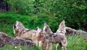 Alle Wölfe strecken fleissig die Köpfe in die Höhe. (Bild: Youtube/simplyscience)