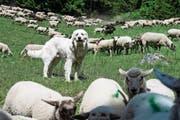 Schutzhunde laufen auf Alpweiden frei herum, um die Herde zu schützen – in Schwyz ist das wegen der Leinenpflicht nicht erlaubt. (Symbolbild: Keystone/Jean-Christophe Bott)