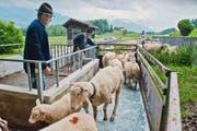 Niklaus von Moos (vorne) und Arthur Bucher treiben die Schafe zur Desinfektion durch ein Klauenbad, bevor sie auf die Alp fahren. (Bild Boris Bürgisser)