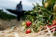 Auf Erdbeeren aus der Schweiz müssen Konsumenten saisonbedingt noch Wochen warten. (Symbolbild) (Bild: Stefan Kaiser / ZZ (Hünenberg, 31. Mai 2016))