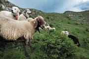 Solche Herdenschutzhunde wie auf diesem Bild werden zum Schutz vor dem Wolf auch in der Unteralp bei Andermatt und auf Alpen in Isenthal eingesetzt. (Bild: Nadia Schärli (Flühli, 3. Juli 2010))