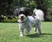 Der verschwundener Hund Lino. (Bild: PD)