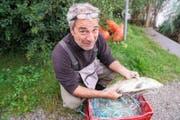 Grosse und teils auch seltene Fische werden aus den Netzen genommen und registriert. (Bild: Romano Cuonz (Sarnen, 12. September 2017))