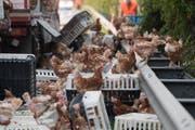 Tausende Hühner tummeln sich auf der Autobahn. (Bild: Keystone)