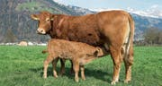 Bei der Mutterkuhhaltung bleibt das Kalb bei der Kuh. Beliebt für die Fleischproduktion sind französische Rassen wie die Limousin auf dem Betrieb von Toni Herger in Altdorf. (Bild: Christoph Hirtler, Altdorf)