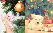 Katzen spielen gerne mit Christbaumschmuck. Das kann gefährlich enden. Verschlungene Geschenkbändel können beim Hund zum Darmverschluss führen (Bilder: MaRussya / Fotostorm / Getty)