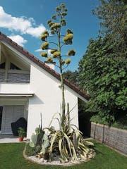 Zurzeit – wohl auch aufgrund der ungewöhnlich hohen Temperaturen dieses Jahr – blüht im Garten von Ruedi Hinter in Sachseln ein Kaktus. Die Agave Americana kommt normalerweise nur südlich der Alpen. Die Pflanze aus der Tequila gemacht wird hat nun einen spektakulären, 7 Meter hohen Blütenstamm. (Bild: PD)