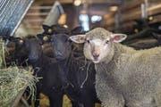 Luzerns Schafpopulation hat im vergangenen Jahr zugenommen. Blick in den Stall des Sörenberger Schafhalters Werner Wicki. (Bild: Pius Amrein (Flühli, 25. Februar 2018))
