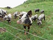 Die Turopolje-Schweine, die im Gebiet Selez gesömmert werden, eignen sich für die Alphaltung besonders gut. (Bild: Tanja Kutzer (Bürglen, Juli 2017))