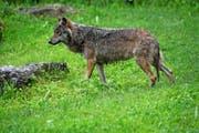 Nach Meinung der Urner Regierung soll der Wolf weiterhin nicht bejagt werden können. (Archivbild Romano Cuonz)