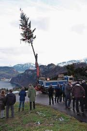 Das Aufrichten der 21 Meter hohen Tanne (Bild: Richard Greuter (NZ) (Neue Nidwaldner Zeitung))